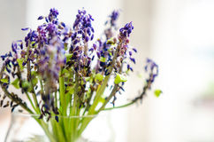 Dried muscari in a vase Stock Photo
