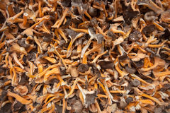 Dried mushrooms as texture. Dried mountain mushrooms as texture Royalty Free Stock Image