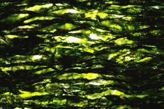 Dried nori seaweed laminaria sheets. Close-up view stock photo