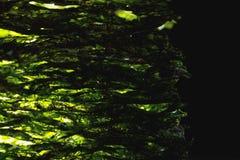 Dried nori seaweed laminaria sheets. Close-up view royalty free stock photo
