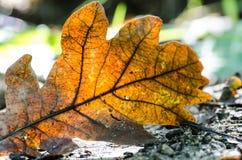 Dried oak leaf Stock Photo