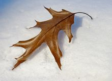 Dried oak leaf on the snow Royalty Free Stock Photos