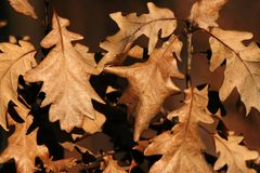 Dried oak leaves Royalty Free Stock Photos