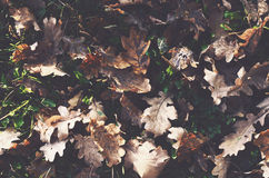 Dried oak leaves fall background. Withered oak leaves fall background Royalty Free Stock Image