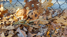 Dried oak leaves on fence Stock Photography