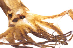 Dried Octopus Isolated Stock Photo
