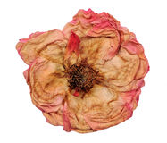 Dried oink rose. On white isolated Stock Photos