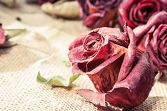 Dried old maroon rose bud with retro filter. Vintage closeup. Dried old maroon rose bud. Indoors closeup horizontal image with vintage retro filter Royalty Free Stock Images