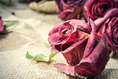 Dried old maroon rose bud with retro filter. Closeup. Stock Photography
