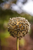 Dried onion seeds on flower. Closeup of a dried onion flower with seeds in the autumn Stock Photo
