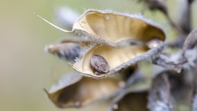 Dried lupine pod with seed inside. Dried and open large-leaved lupine Lupinus polyphyllus pod with seed inside. Close up stock image