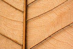 Dried orange leaf sceleton texture. Nature background stock photos