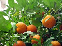 Oranges harvest. Dried oranges on a tree in the streets of Greece royalty free stock photo