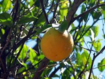 Oranges harvest. Dried oranges on a tree in the streets of Greece stock image