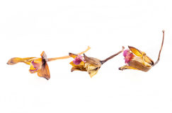 Dried orchid flowers Stock Images