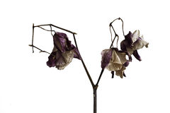 Dried Orchid Stock Photography