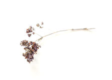 Dried oregano flowers Stock Photography
