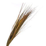 Dried ornamental grass clump isolated on white Stock Photos