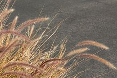 Dried ornamental grasses in winter with seed heads against a neutral grey background Stock Images