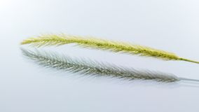 Dried ornamental reed grass. Royalty Free Stock Image