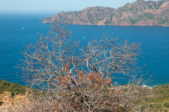 Dried out bush on coast. Dried out bush, macchia vegetation, blue sea, mountains in background, Corsica, Eurpoe royalty free stock photo