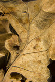 Dried out old leaf Royalty Free Stock Image