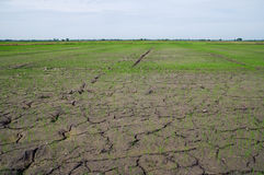 Dried out rice paddy fields in Thailand royalty free stock photo