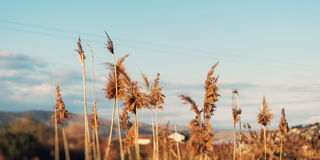 Dried overgrown sedge sways in the wind in autumn.  Stock Photo