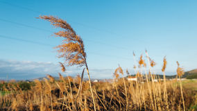 Dried overgrown sedge sways in the wind in autumn.  Royalty Free Stock Photo