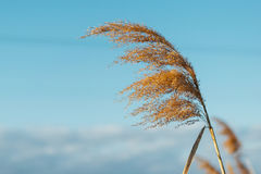 Dried overgrown sedge sways in the wind in autumn.  Royalty Free Stock Images