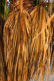 Dried palm leaves Stock Photography