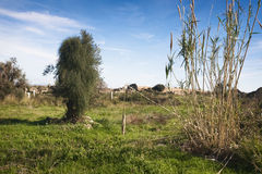 Landscape with pampas grass Royalty Free Stock Photo