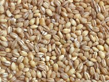 Dried pearl barley Stock Image