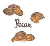 Dried Pecan nuts isolated on a white background. Royalty Free Stock Photography