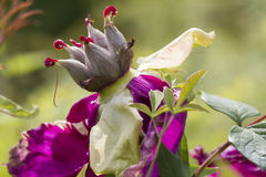 Dried peony in the garden Royalty Free Stock Images