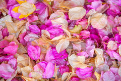 Dried petals Stock Image