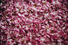 The dried petals of a tea rose stock photo