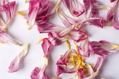 Dried petals tulips lay on a white Royalty Free Stock Photos