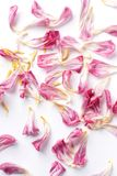 Dried petals tulips lay on a white Royalty Free Stock Photo