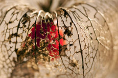 Dried Physalis lantern Stock Photos