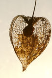 Dried Physalis lantern Royalty Free Stock Photography