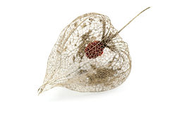Dried Physalis lantern Stock Photography