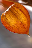 Dried Physalis lantern close up Royalty Free Stock Photo