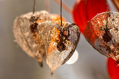 Dried Physalis lantern close up Royalty Free Stock Images