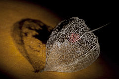 Dried Physalis lantern close up Stock Image