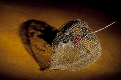 Dried Physalis lantern close up Stock Images