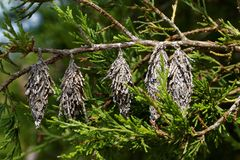 Dried pieces of a conifer hanging on a branch. Dried out parts of a conifer hanging from a branch stock images