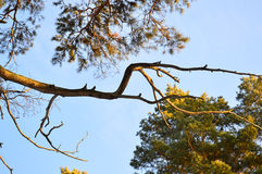 Dried pine branch against the blue winter sky. At sunset stock photography
