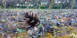 Dried pine cone stock images