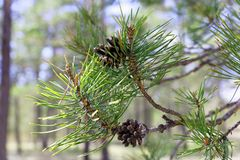 Dried pine cones on the branch Royalty Free Stock Photo